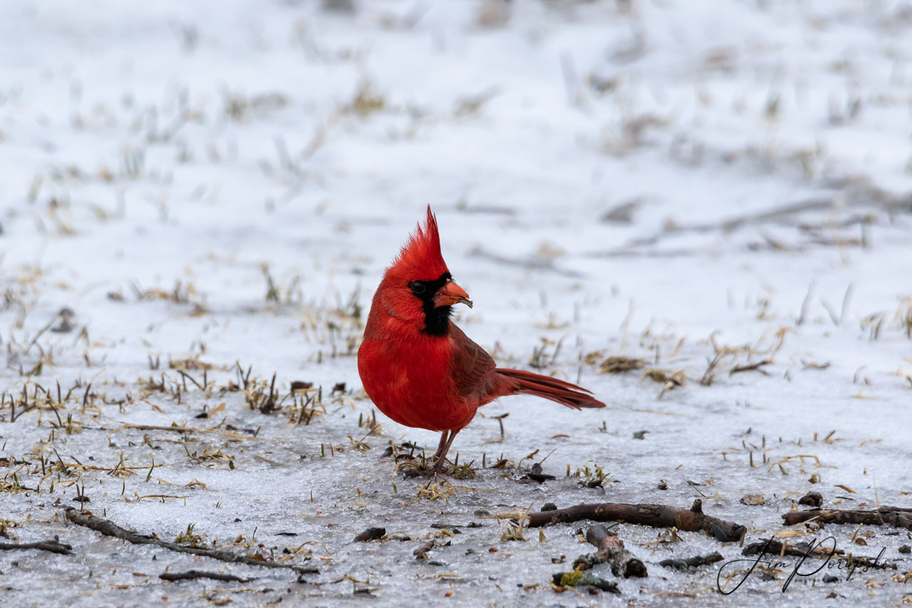 Cardinal out on a snowy day (photo)